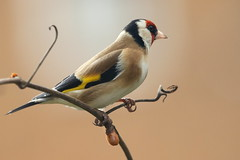 Goldfinch-7D2_2876-001 (cherrytree54) Tags: canon7dmkii sigma 150600 goldfinch