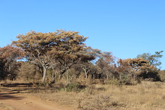 Fever Trees (Rckr88) Tags: the fever tree thefevertree trees fevertrees fevertree waterberggamepark limpopo southafrica waterberg game park south africa botany naturalworld nature outdoors travel travelling