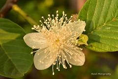 Guava Flower (Sheuli Hossain) Tags: