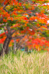 Chanthaburi Rural Scene : Blossom of Delonix regia (Flamboyant) (baddoguy) Tags: ackgrounds beauty in nature blossom color image copy space country road environmental conservation flame tree flower focus on foreground frame border grass green idyllic landscape scenery majestic meadow no people nonurban scene orange outdoor pursuit outdoors part of photography picture pride barbados red rural single lane social issues springtime summer thailand tranquil tranquility tropical vertical