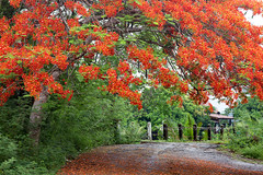 Chanthaburi Rural Scene : Blossom of Delonix regia (Flamboyant) (baddoguy) Tags: backgrounds beauty in nature blossom bridge built structure color image copy space country road empty environmental conservation flame tree flower focus on foreground frame border grass green horizontal idyllic landscape scenery loneliness majestic meadow no people nonurban scene orange outdoor pursuit outdoors part of photography picture pride barbados red rural single lane social issues springtime summer thailand tranquil tranquility tropical