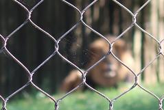 MD Zoo ~ fences, webs & a lion (karma (Karen)) Tags: baltimore maryland mdzoo lions fences webs dof bokeh hff topf25