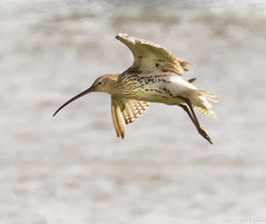 Curlew in Flight (pootlepod) Tags: canon 7dmkii wildlife rspb rspbsouthwest wimbrel curlew wader birds avian exe esturial lapwing peewi flight river tidal nature raw natural male female wings feather bill beak legs eyes water lake pond devon uk southwest