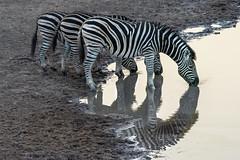 Trio of zebras (tmeallen) Tags: zebras equusquagga trio drinking sunset waterhole standing linedup sidebyside safari wildlife travel mabulaprivategamereserve limpopo southafrica
