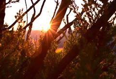Ocaso en la Sierra de La Cabrera (diegocarreraperez) Tags: sunset atardecer sol sun sky cielo rama branch tree árbol nature naturaleza wild salvaje vida life live verde green light luz shine ray rayo brillo naranja orange pino pinus pinaster forest bosque cabrera lacabrera león cyl castilla meseta españa spain europe europa