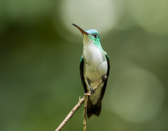 0P7A3177   Andean Emerald Hummingbird, Ecuador (ashahmtl) Tags: andeanemeraldhummingbird bird hummingbird amaziliafranciae mindo pichinchaprovince ecuador