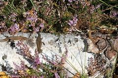 Lounging lizards. (ChristianMoss) Tags: lacerta vivipara lizard zootoca common reptile eppingforest viviparous
