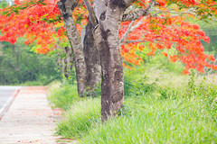 Chanthaburi Rural Scene : Blossom of Delonix regia (Flamboyant) (baddoguy) Tags: backgrounds beauty in nature blossom color image country road diminishing perspective environmental conservation flame tree flower focus on foreground footpath frame border grass green horizontal idyllic journey landscape scenery majestic meadow no people nonurban scene orange outdoor pursuit outdoors part of pedestrian walkway photography picture pride barbados red rural single lane social issues springtime street summer thailand tranquil tranquility trunk tropical