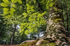 Where the creepy crawlers roam.. (Bram de Jong) Tags: forest tree beech fagussylvatica light green fujifilmxt3 low pattern glk gelderschlandschap gelderland warnsborn nik software pscc2019 beuk