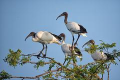 Sacred Ibis (simo tony photography) Tags: ibis nature naturephotography naturaleza natura naturalistica animals animali bird birdwatching italy italia mantova