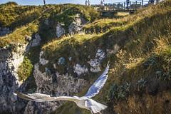 Goélen en vol (Sky3RN) Tags: étretat goéland falaises