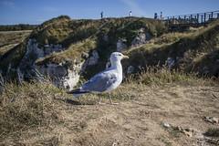 Goéland paumé (Sky3RN) Tags: goéland étretat
