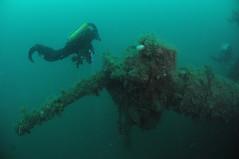 Scotland-201908-Orkney-Dive5-Coln-9-88mmGun (Tony J Gilbert) Tags: orkneys scotland scubadiving orkneyislands marine diving marinefish nikond300 60mmlens 105mmlens underwater underwaterphotography travel travelogue scottishtravel scottishscubadiving scottishlandscapes scottishwildlife