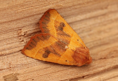 centre barred sallow moth - atethmia centrago
