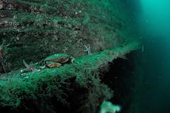 Scotland-201908-Orkney-Dive5-Coln-7-EdibleCrab (Tony J Gilbert) Tags: orkneys scotland scubadiving orkneyislands marine diving marinefish nikond300 60mmlens 105mmlens underwater underwaterphotography travel travelogue scottishtravel scottishscubadiving scottishlandscapes scottishwildlife