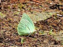 DSCN1271 - #遷粉蝶 (#淡黃蝶) 銀斑型 雄 Catopsilia pomona (Fabricius, 1775)