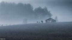 06092019-DSC_0098 (vidjanma) Tags: brume fagnoux hangar vaches