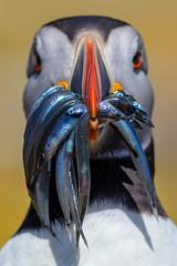 KGDS0217 (appelmost c/o Klaus Günther) Tags: england farneislands schottland uk wildlife puffin papageitaucher island staple