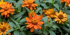 Orange & Yellow Tithonia (Mexican Sunflower) Sidewalk Flowers 1 of 2 (Orbmiser) Tags: nikonafpdx70300mmf4563gedvr d500 nikon oregon portland flowers