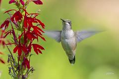 Ruby-throated Hummingbird (jt893x) Tags: 150600mm archilochuscolubris bif bird d500 hummingbird jt893x nikon nikond500 rubythroatedhummingbird sigma sigma150600mmf563dgoshsms