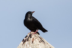 Spotless Starling Stumus unicolor (Barbara Evans 7) Tags: spotless starling stumus unicolor spain barbara evans7