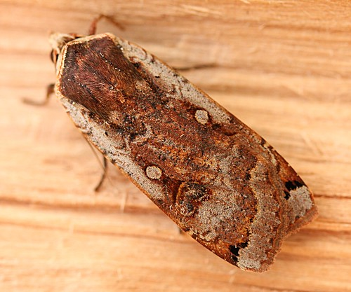 large yellow underwing - noctua pronuba