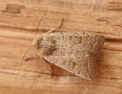 powdered quaker - orthosia gracilis