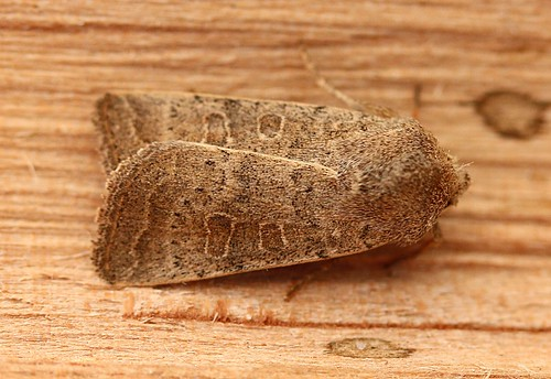 common quaker - orthosia cerasi