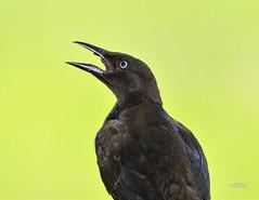 Common Grackle (jt893x) Tags: 150600mm bird blackbird commongrackle d500 grackle jt893x juvenile nikon nikond500 portrait quiscalusquiscula sigma sigma150600mmf563dgoshsms