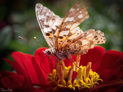 substantial meal (Thomas Heuck) Tags: laga wittstock schmetterling butterfly blume flower fauna olympus em1markii natur nature makro macro