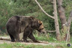 Brown Bear Stroll 2019 (TheArtOfPhotographyByLouisRuth) Tags: bear brownbear woodlandparkzoo seattlezoo seattle wabears thehouseofimagegallery nikond810 aggroup animalkingdomg1
