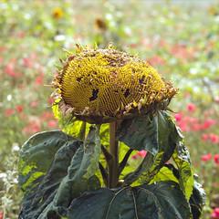 (Andrew :-)) Tags: bronicasqa zenzanons150mm35 kodakportra160 mediumformat 120 6x6 sunflower poppies
