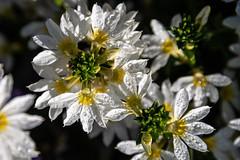 (snd2312) Tags: finland suomi nature summer kesä luonto flowers dew morning white yellow
