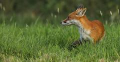 Day dreaming (waynehavenhand1) Tags: wild wildlife wildlifephotography naturenaturephotography naturesfinest animal fox vulpesvulpes