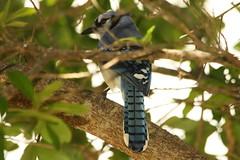 3S5X1320 The Blue Tail (Eileen Fonferko) Tags: bird animal bluejay nature wildlife