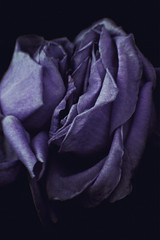 too close yet too far away (sarrajaoui13) Tags: photography edgy darkness artistic portrait closeup natural nature vibe vintage purple two roses flowers