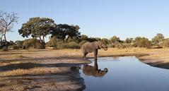 Elephant having a drink from drying river (Paul Cottis) Tags: mammal paulcottis 21 june 2019 khwai moremi okavango botswana africa elephant african waterhole drink reflection view landscape scenery