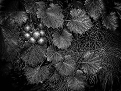 Incredible Inedible (FotoGrazio) Tags: nativeplant nature fotograzio magical botany photoeffect florida plant mothernature macro monochrome waynegrazio americanberryinmonochrome photomanipulation vine natureasart wildplant silver lovely ruleofthirds berries texture leaves closeup beautiful claveblack art botanical black poison waynesgrazio blackandwhite waynestevengrazio phototoart