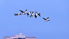 Formazione di volo....   Volpoche       jpg (spezcar) Tags: birds volpoche animali