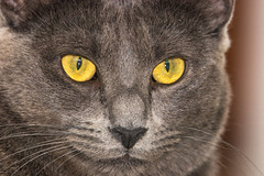 Beautiful Chartreux breed cat (arnaud_martinez) Tags: animal blue cat children cute exhibition france fur looking mammal pet water yellow adult baby breed chartreux coat cobby companion competition copper domestic eyes face fetch french gentle gold grey hair house hunter intelligent kitten mascot observant orange pedigree playful posing prized prowess resistant seating sensitive short silver smile texture