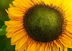 Sunflower (markburkhardt) Tags: