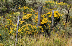 Fence With Rabbit Brush (arbyreed) Tags: arbyreed fence fencefriday dontfencemein fencedfriday barbedwirefence wirefence west grass yellow sage rabbitbrush rabbitbrushinbloom lincolncountywyoming