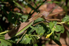 IMG_0022 A Beauty with Lavender Eyes (oldimageshoppe) Tags: insect prayingmantis adult female morninglight latesummer