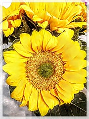 Late Summer Yellow (Marcia Portess-Thanks for a million+ views.) Tags: girasoles centers petals bright photomanipulation painted elartedigital digitalart elarte art closeup macro blossoms fleur flores amarillo yellow flowers sunflowers marciaaportess marciaportess map latesummeryellow