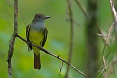 Western-Kingbird (BEHP Photography) Tags: western kingbird nature wildlife bird birds yellow belly corkscrew swamp sanctuary