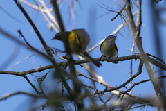 (The Transit Photographer) Tags: birds rideautrail trailhead marshlandsconservationarea warblers americanredstart