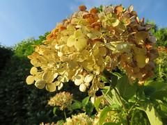 """Schneeballhortensie """"Annabelle"""" im Abendlicht (Bea tedo) Tags: hortensie blüte blume flower pflanze natur hydrangea makro macro schneeballhortensie garten garden"""