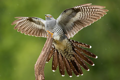 Cuckoo (robin elliott photography) Tags: cuckoo cuckoos bird birds birdwatch birdwatching wings feathers tail grey outdoors outside claws nature wild wildlife canon canon100400mkii
