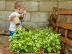I love green (g haiku) Tags: fenced fence kid summer basil plants outdoor playing nikon child garden nature fencefriday fencedfriday
