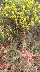 (sftrajan) Tags: californianativeplants botany summer september botanicalgarden jardínbotánico flowers shrub californianativeplantsgarden sanfranciscobotanicgarden strybingarboretum goldengatepark sanfrancisco
